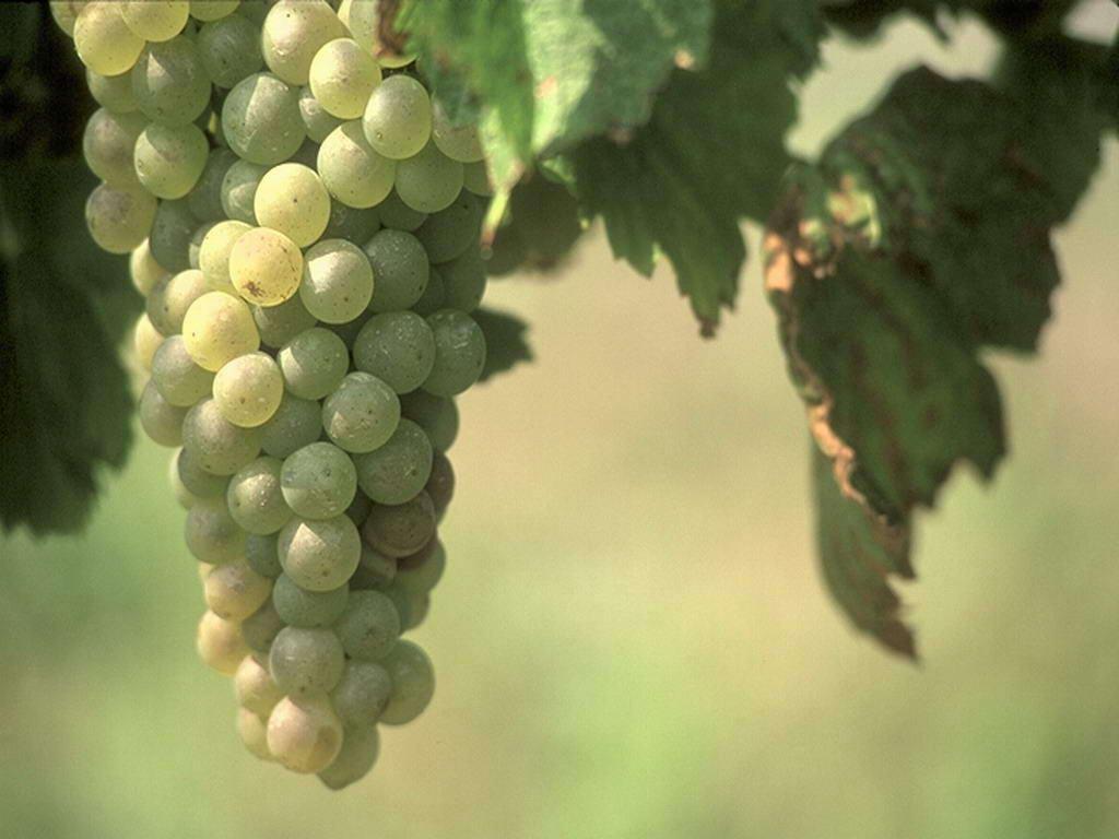 Как организовать бизнес по производству вина