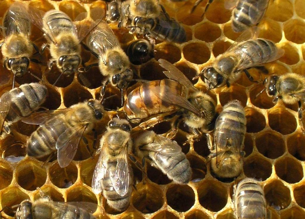 розведення бджіл для бізнесу