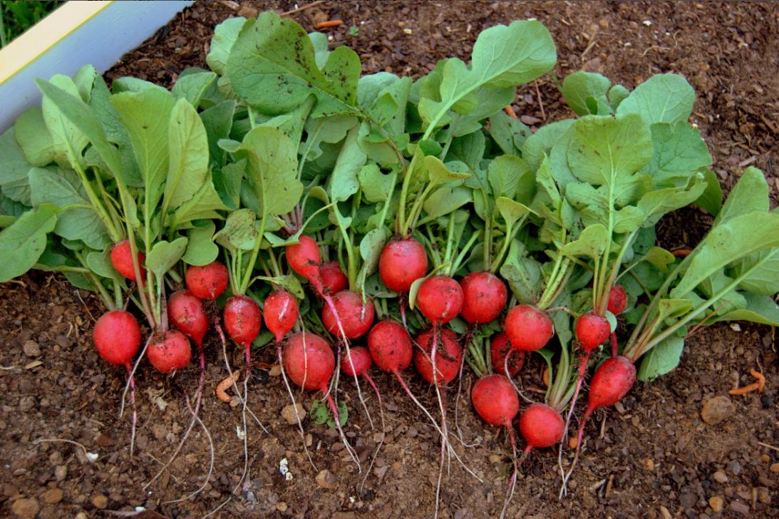 бизнес-идея выращивания редиса