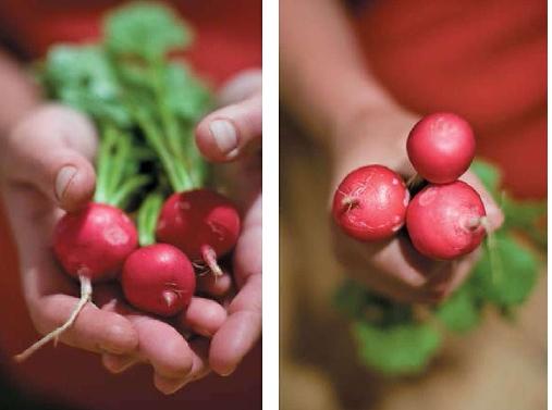 вирощування редиски як бізнес-ідея