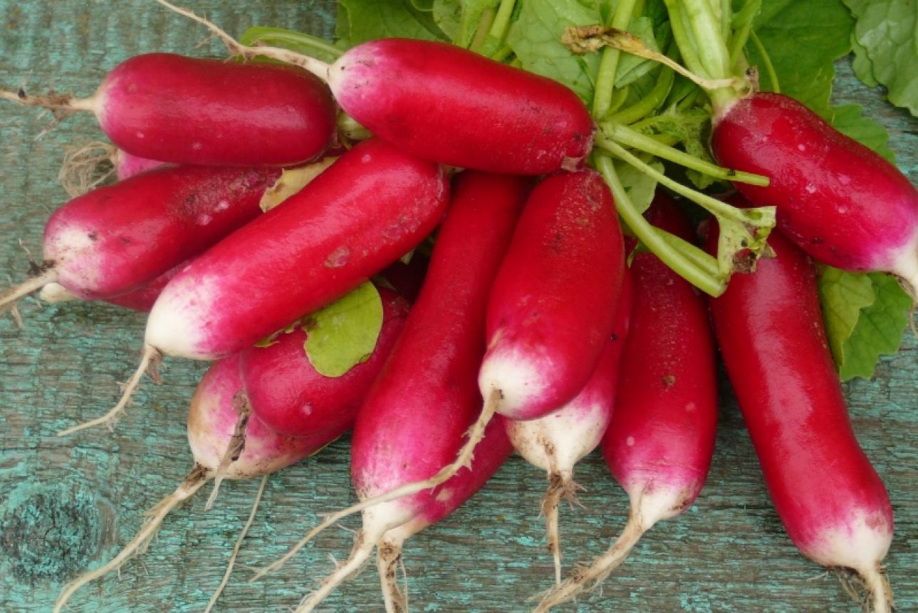 как начать бизнес по выращиванию редиса
