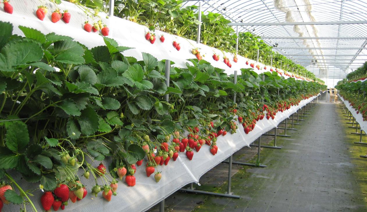 бизнес-идея выращивания клубники