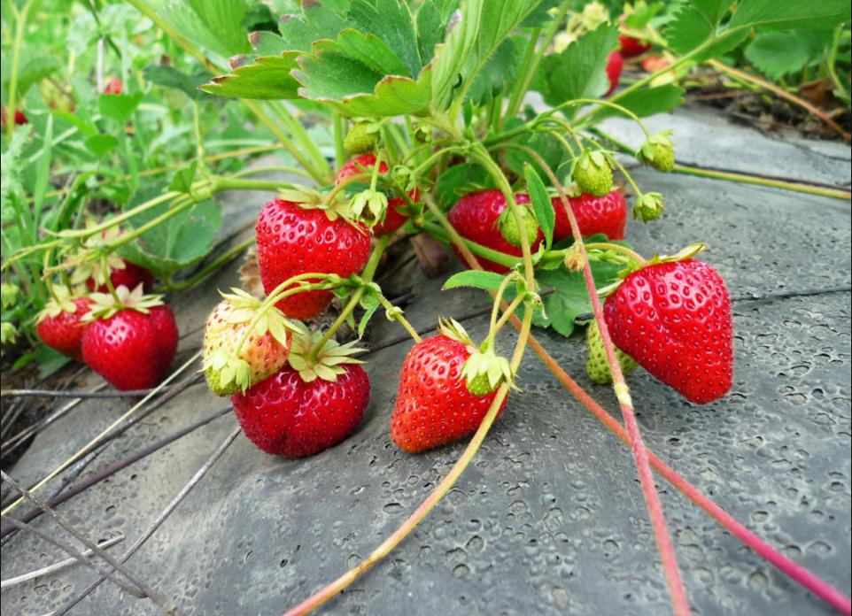 бізнес-ідея по вирощуванню полуниці