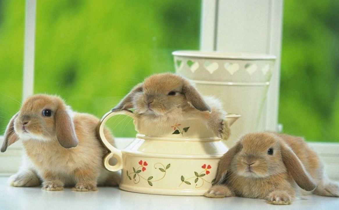 Бизнес-идея разведения декоративных кроликов