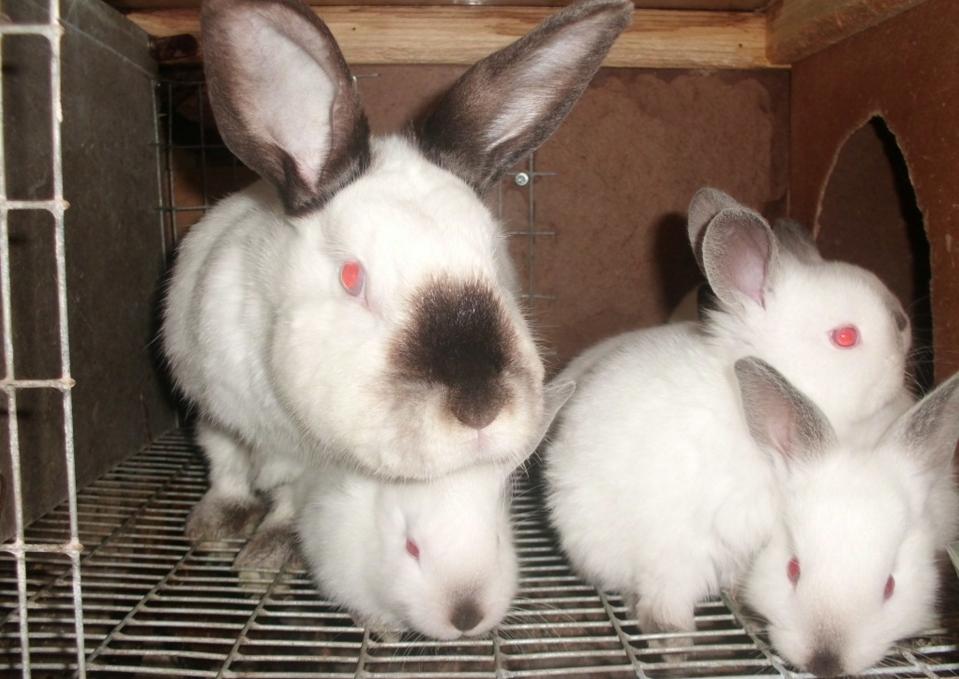 як організувати бізнес з розведення декоративних кроликів