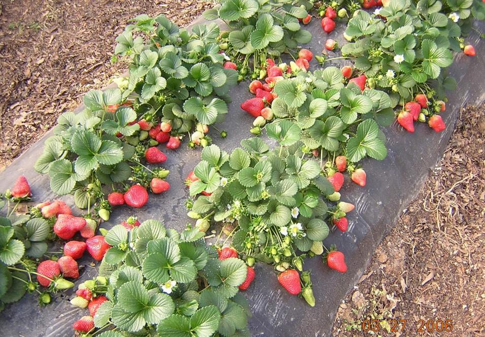 як організувати вирощування полуниці