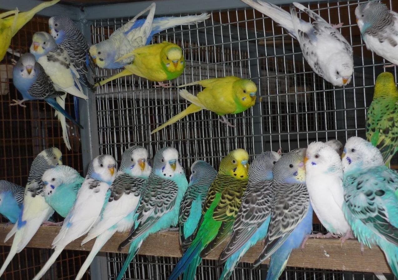 Бизнес-идея разведения попугаев