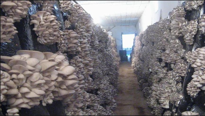 бізнес-ідея для дачної ділянки вирощування грибів