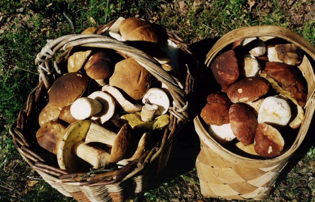 Бизнес-идея сбора и продажи лесных грибов