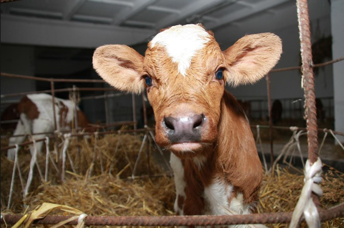 Бизнес по открытию молочной фермы