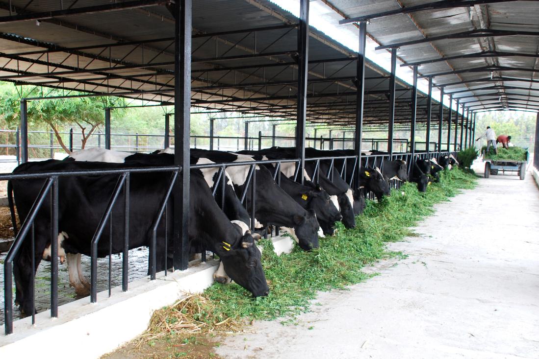 Бизнес-идея открытия молочной фермы