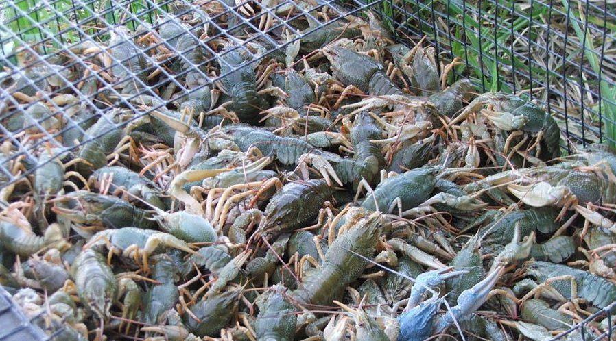 бізнес ідея з розведення раків