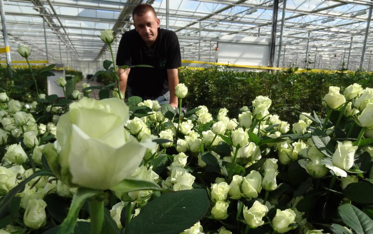 бизнес идея выращивания роз в теплицах