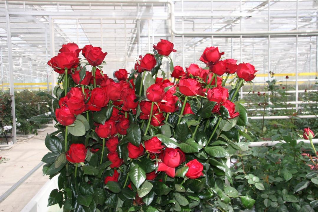 как организовать бизнес по выращиванию роз в теплицах