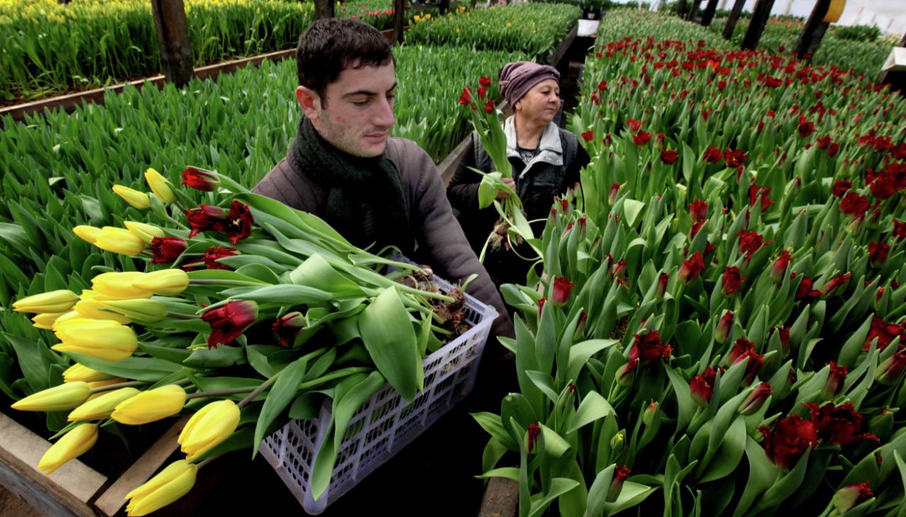 бізнес-ідея вирощування тюльпанів в теплиці