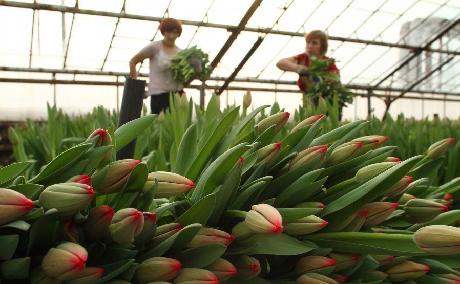 Выращивание тюльпанов 50