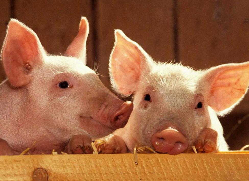 як організувати бізнес з відкриття свиноферми