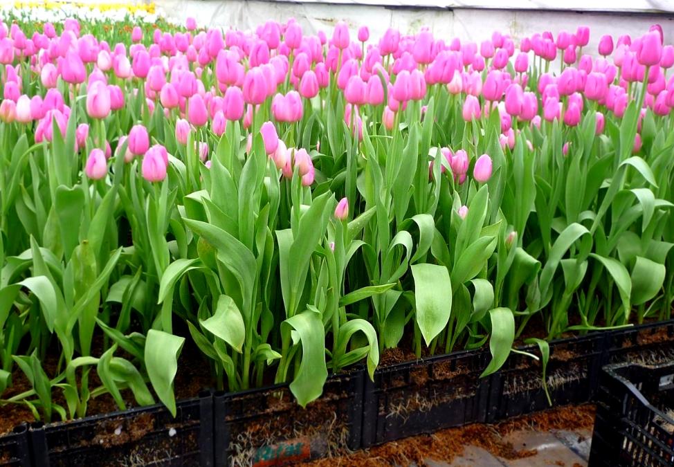 Как организовать бизнес по выращиванию тюльпанов