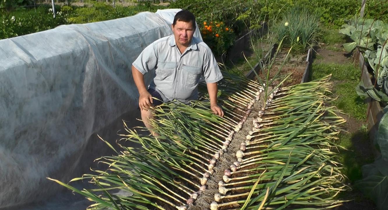 Бизнес-идея выращивания чеснока