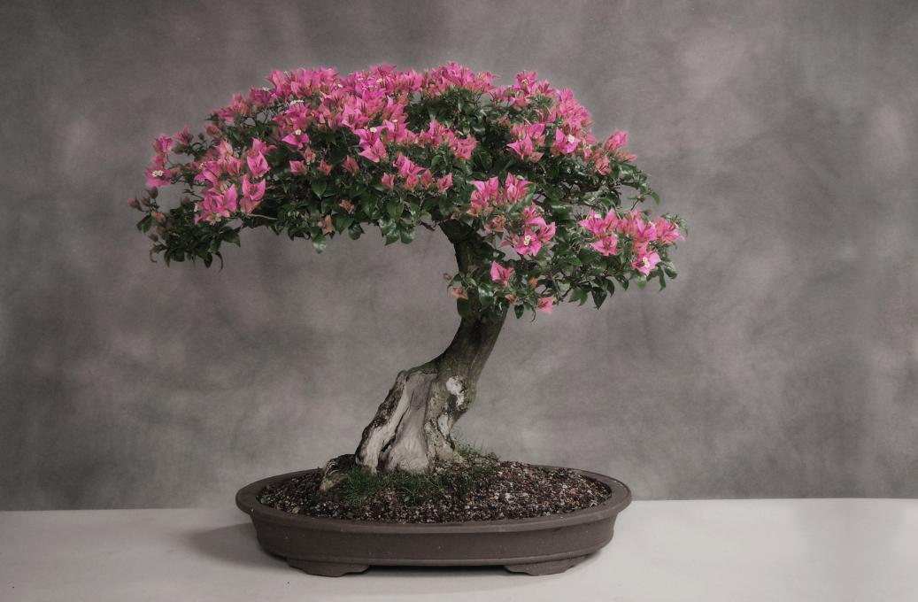 бізнес-ідея вирощування дерева бонсай