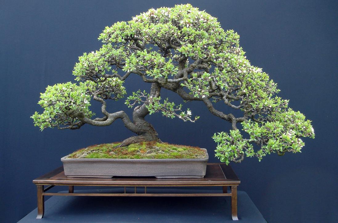 Бизнес на выращивании дерева бонсай