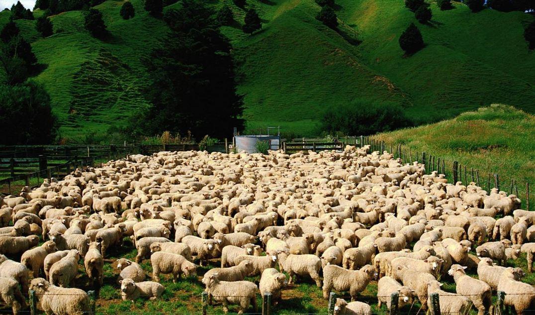 Как организовать бизнес на открытии овцеводческой фермы