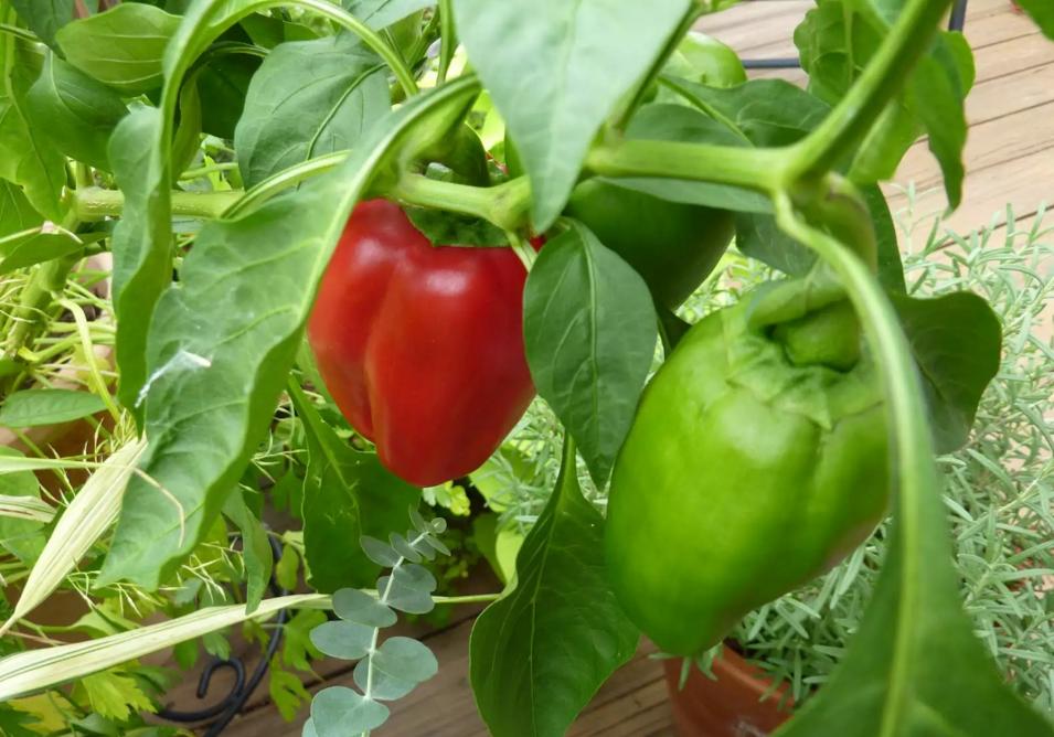 Бизнес-идея выращивания перца в теплице