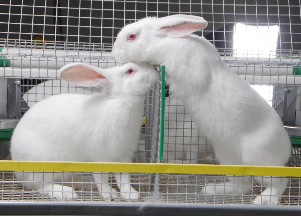 як організувати бізнес з розведення кроликів