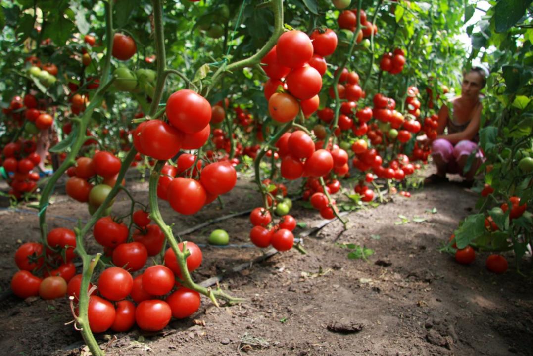 бізнес-ідея вирощування помідорів