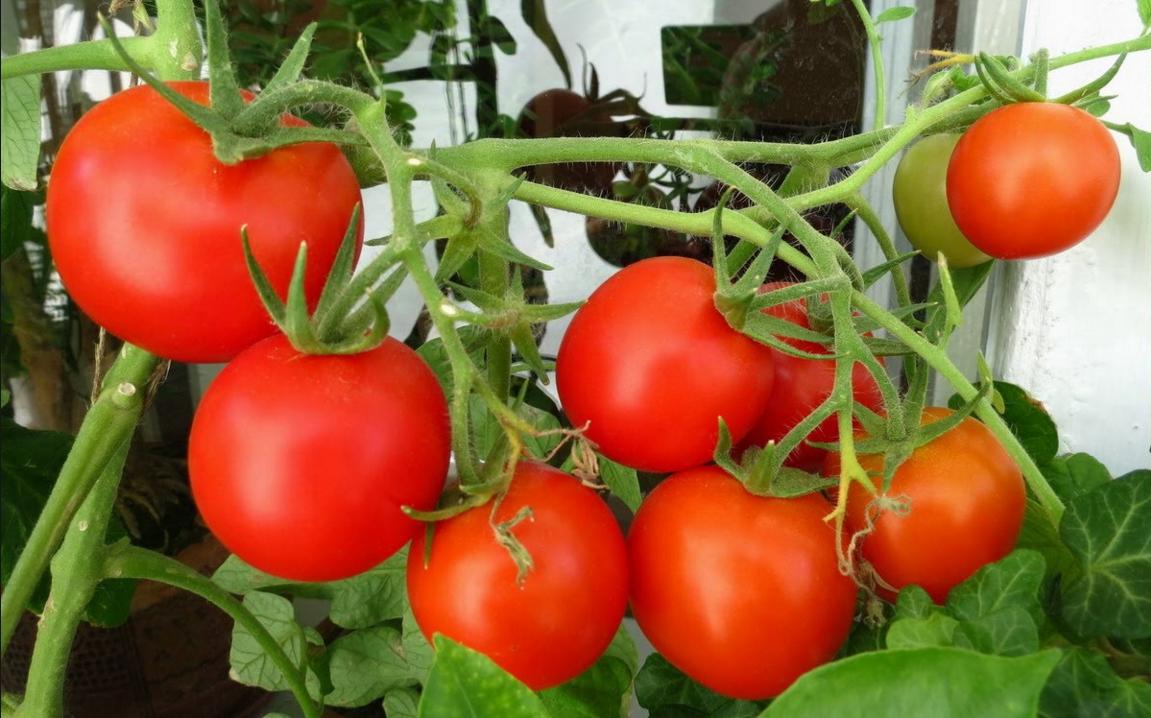 Бизнес-идея выращивание помидор