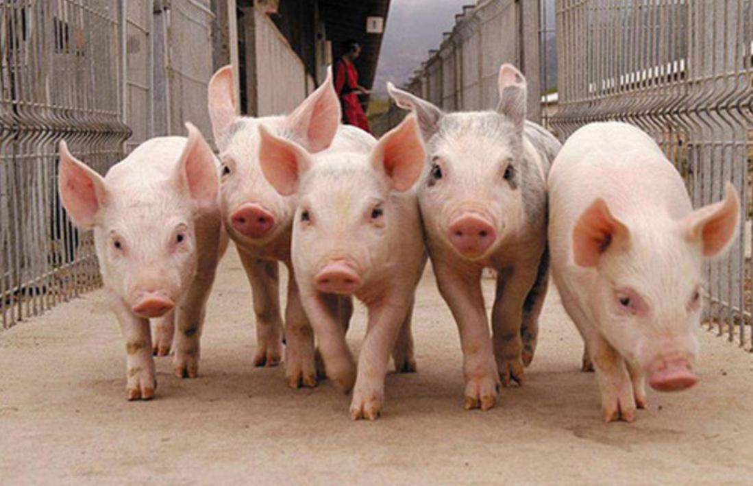 свиноводство как бизнес-идея