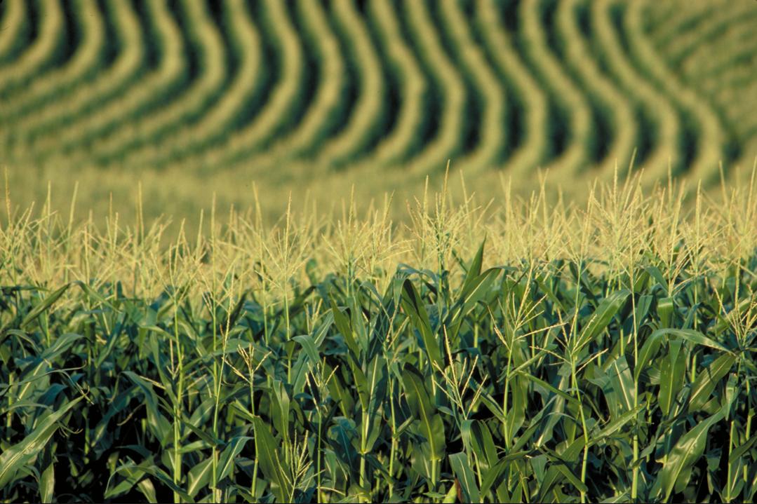 бізнес-ідея вирощування кукурудзи