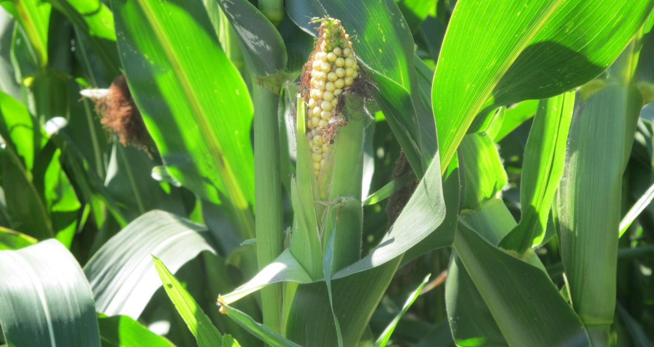 бізнес на вирощуванні кукурудзи