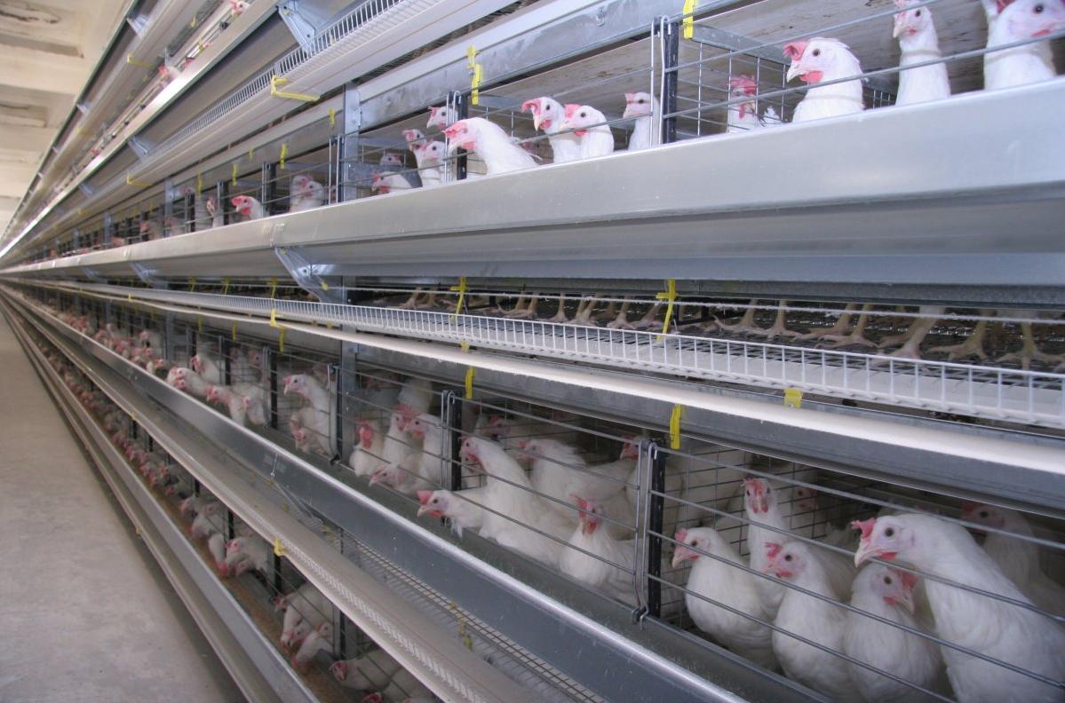 Как организовать бизнес по открытию птицефермы