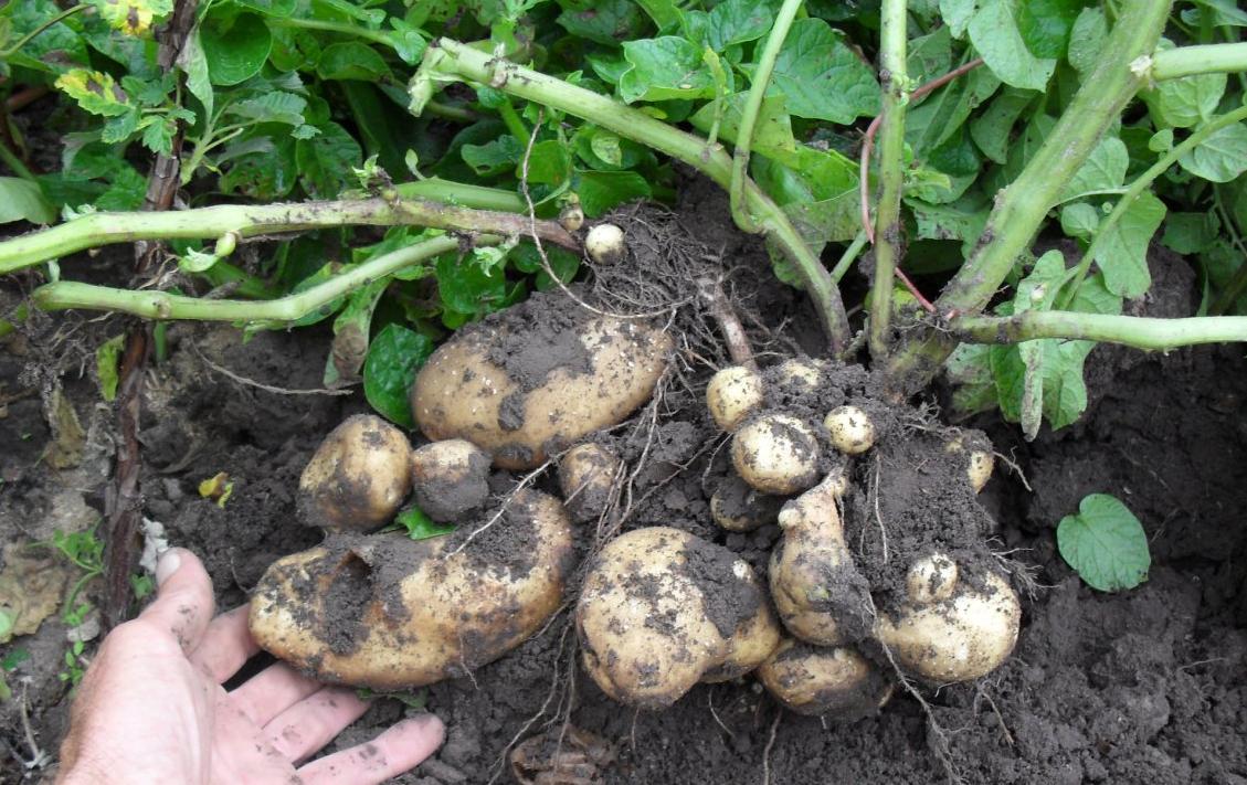 бизнес-идея выращивания картофеля по голландской технологии
