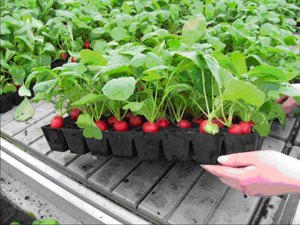 Бизнес-идея выращивания редиса в теплицах