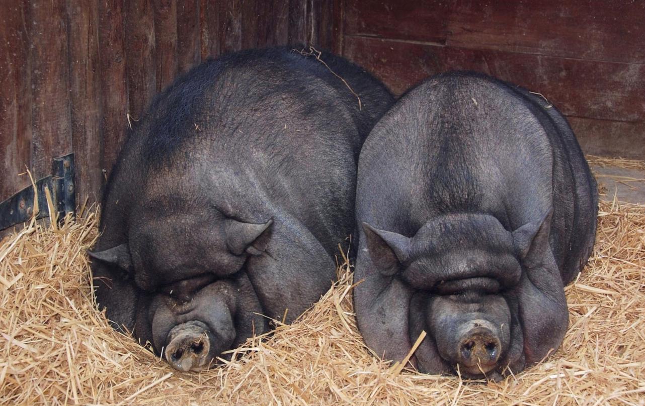 Бизнес-идея разведения вьетнамских свиней