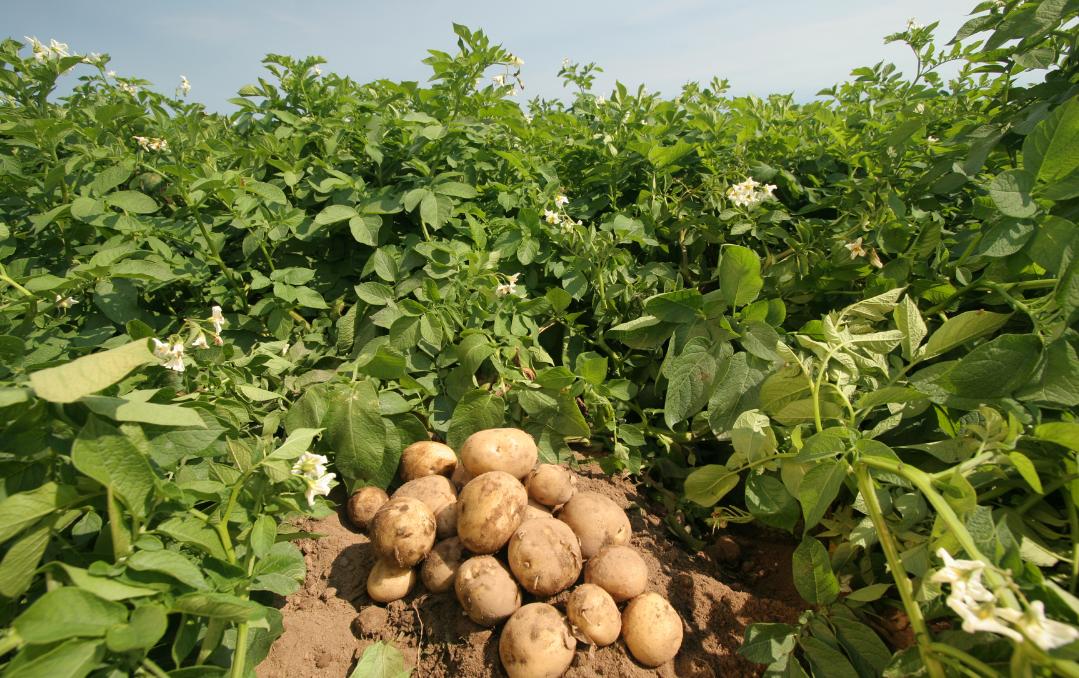 як організувати бізнес по вирощуванню картоплі