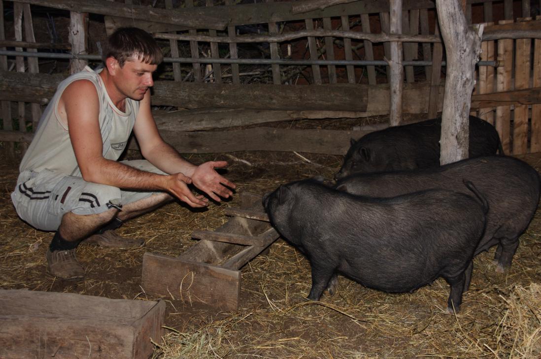 як організувати бізнес з розведення в'єтнамських свиней
