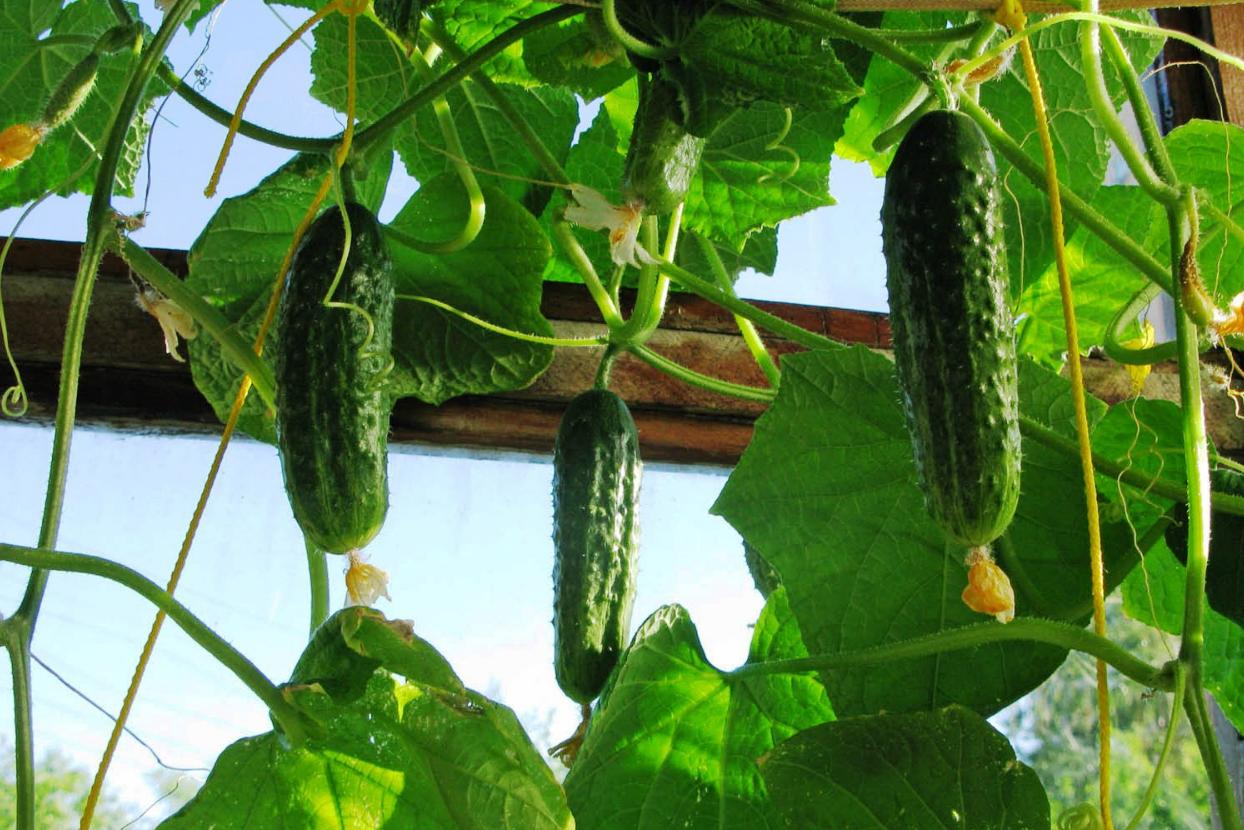 бізнес-ідея вирощування огірків