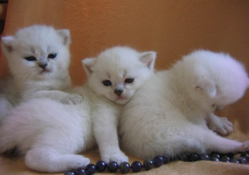 бізнес-ідея хобі з розведення кошенят
