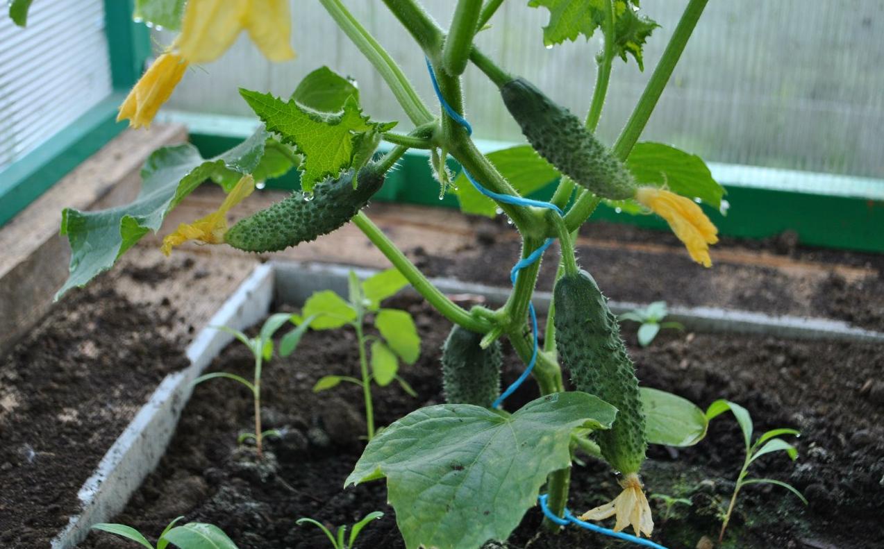 Выращивание огурцов в домашних условиях 42