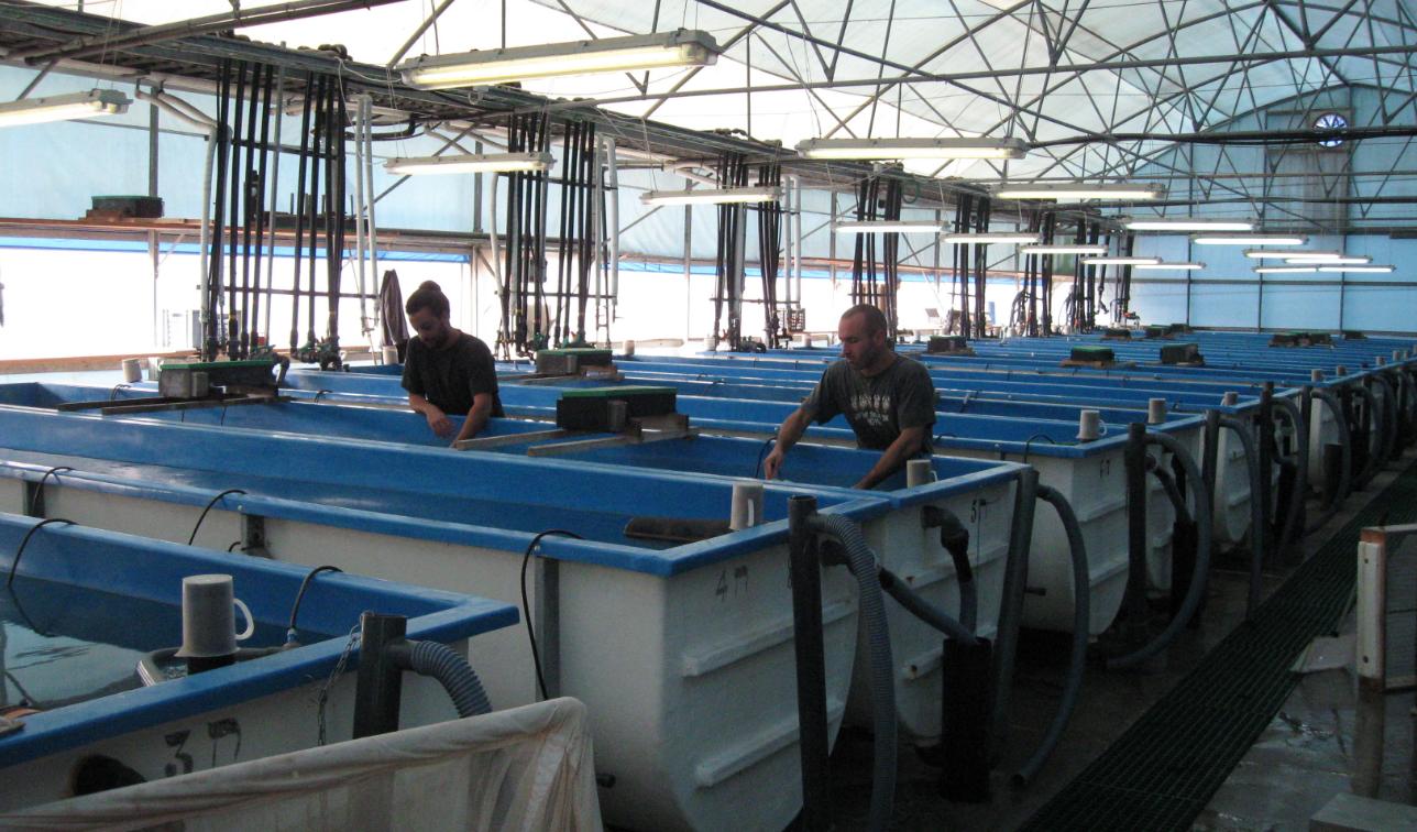 як організувати бізнес на вирощуванні гігантських прісноводних креветок в УЗВ