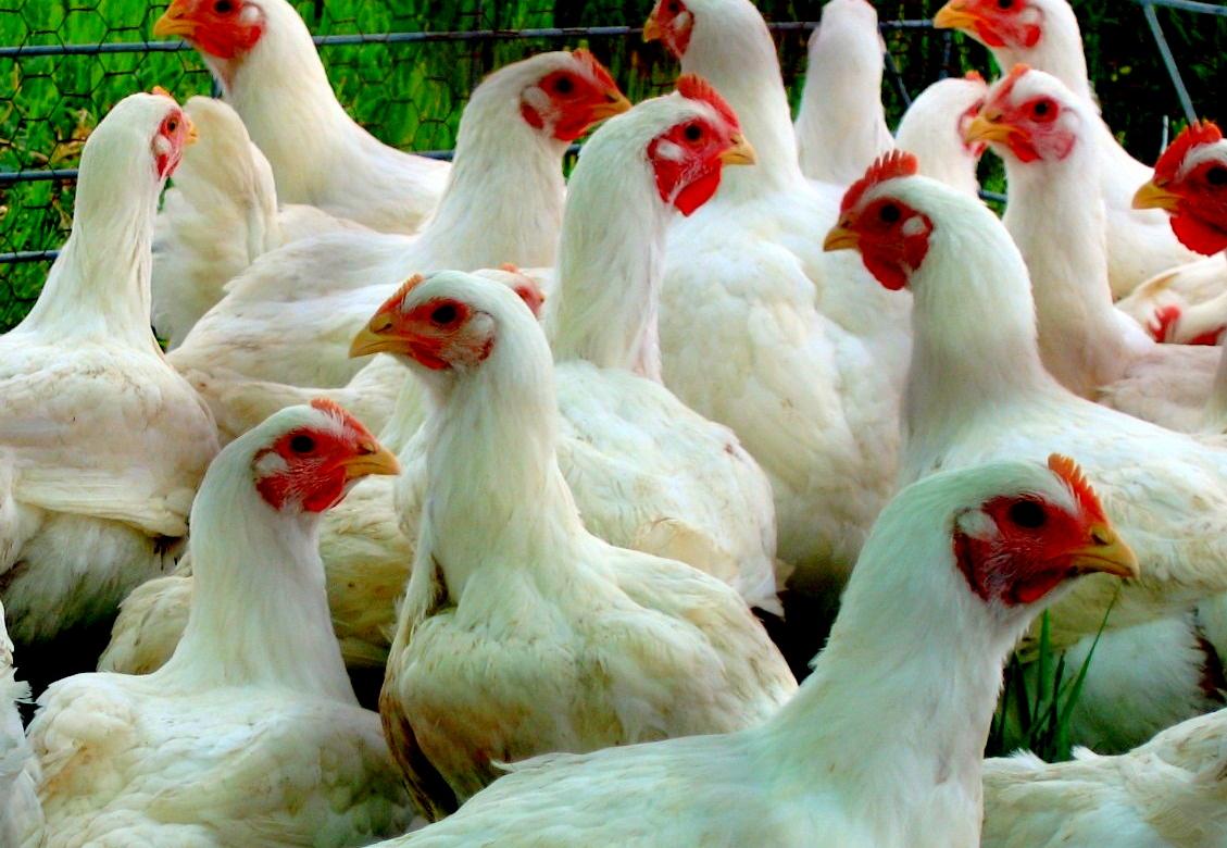 Разведение мясных пород кур