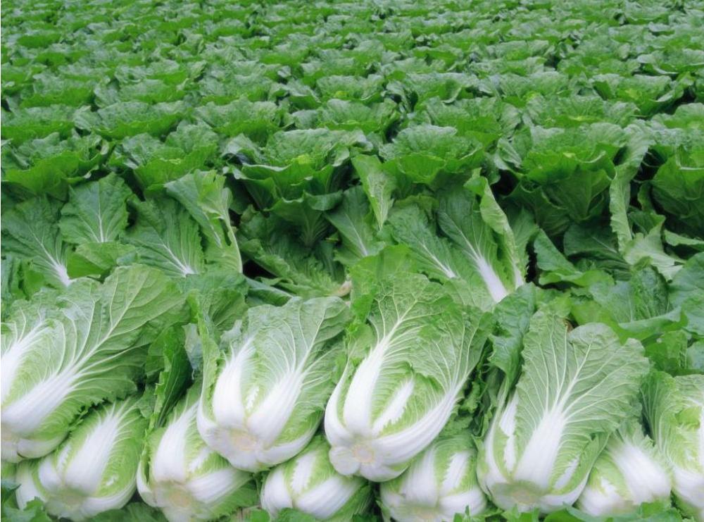 Как организовать бизнес на выращивании пекинской капусты