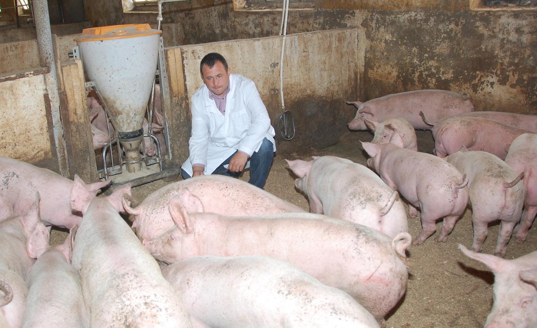 Как организовать бизнес по открытию мини-свинофермы