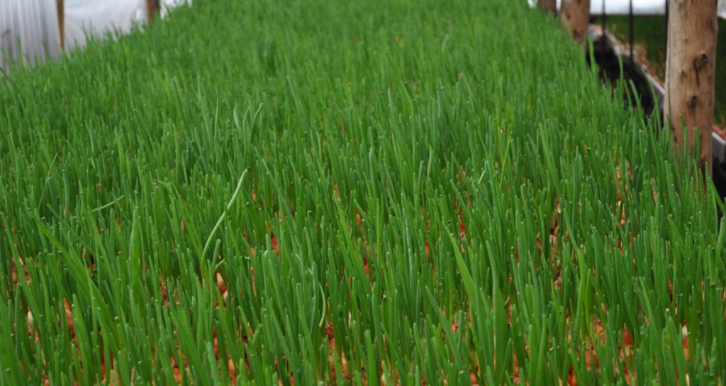 Выращивание лука рентабельность 73