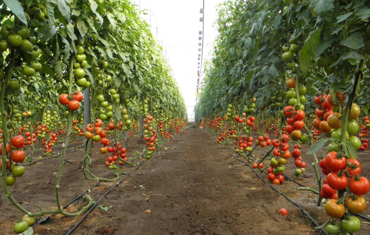 Бизнес-идея открытия тепличного хозяйства