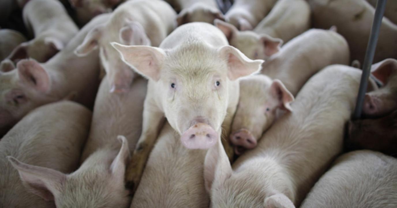 Бизнес-идея открытия свинофермы
