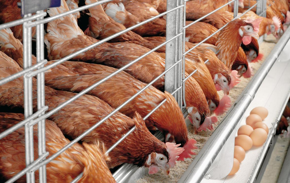 Бизнес-идея открытия мини-птицефермы